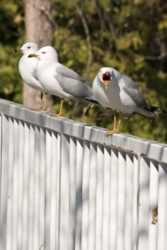 Screaming Gull