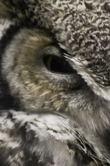 Horned Owl Eye